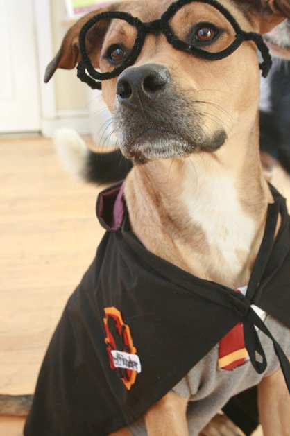 20 adorable diy pet costume ideas for halloween 2017 harry potter dog costume solutioingenieria Choice Image