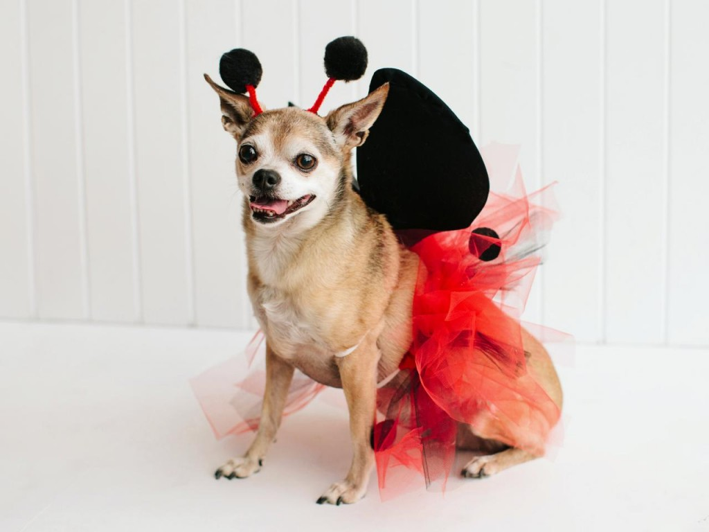 Pet Halloween Costume: Little Ladybug