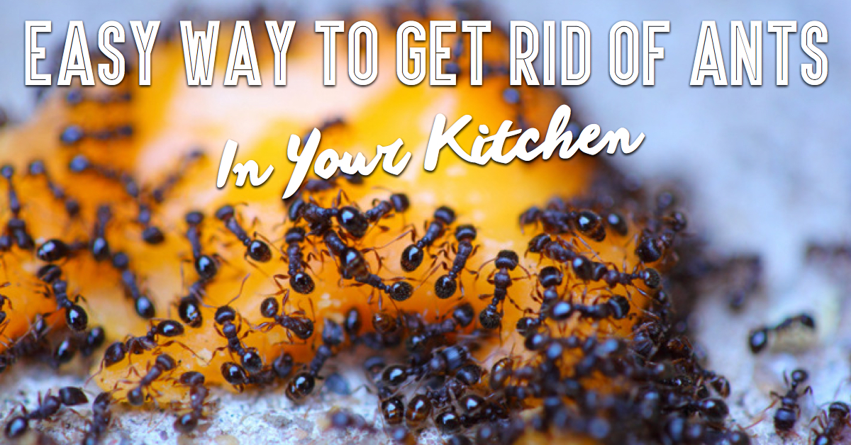 Ridiculously Easy Way To Get Rid of Ants In Your Kitchen ...