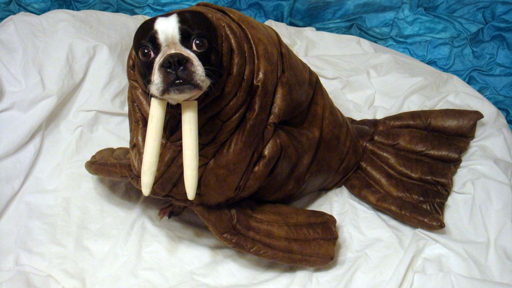20 adorable diy pet costume ideas for halloween 2017 walrus pet halloween costume solutioingenieria Choice Image