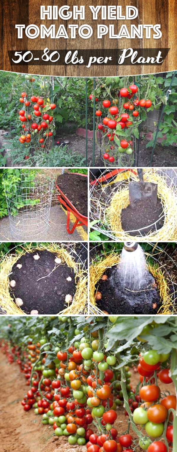 50-80 Lbs of Tomatoes Per Plant in Your Garden